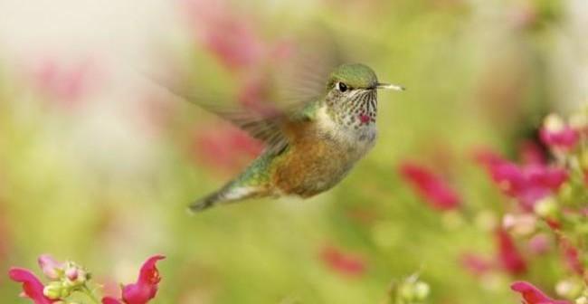 Il piccolo colibrì