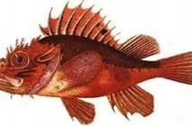 scorfano-rosso